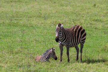 Safari im Ngorongoro-Krater mit Freifläche für Text