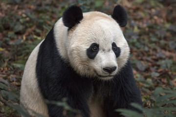 Fotomurales - Panda Bear Sitting in the Forest of Bifengxia Panda Reserve in Ya'an Sichuan Province, China. Fluffy Panda