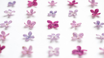 Foto op Aluminium Lilac Rows of many small purple and pink lilac flowers on white background