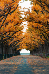 Fototapete - A straight road lined with ginkgo trees during autumn in Tokyo, Japan