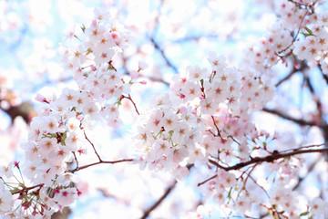 Autocollant pour porte Fleur de cerisier さくら 青空