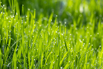 dew drops on the green grass. wonderful close up of nature background in the morning. freshness concept
