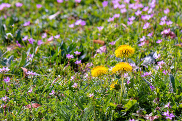 yellow dandelion flowers in the green grass among purple germander speedwell. common flowering weeds.  springtime nature background on a sunny day.