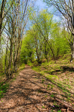 footpath through forest in spring. sunny weather. trees in vivid green leaves.