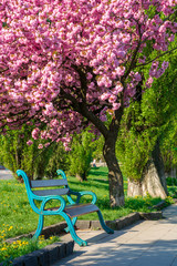 bench under the cherry blossom. alley on the embankment in springtime. beautiful urban scenery of uzhgorod with lanterns and grassy lawns in the morning. sunny weather with fluffy clouds on the sky