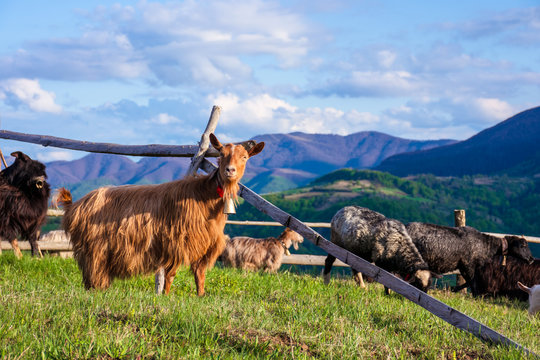 herd of goats on the alpine meadow in spring. beautiful rural scenery in evening light. mountain ridge in the distance. wonderful sunny weather with fluffy clouds on the blue sky
