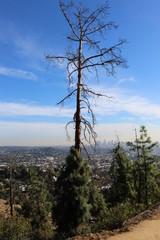 Dead tree, hollywood hills.
