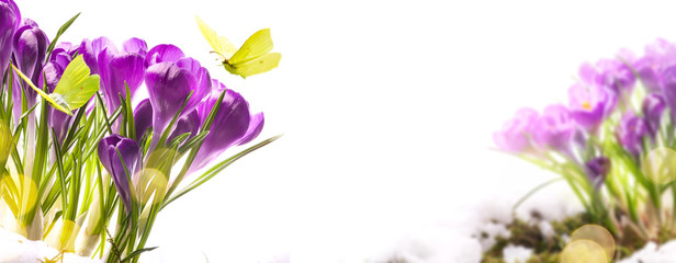 Fototapete - art Beautiful Spring background with fresh spring flowers and fly butterfly against white background