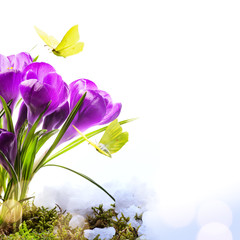 Fototapete - Spring background with fresh spring flowers and fly butterfly against white background