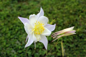 Papiers peints Narcisse fleur blanche