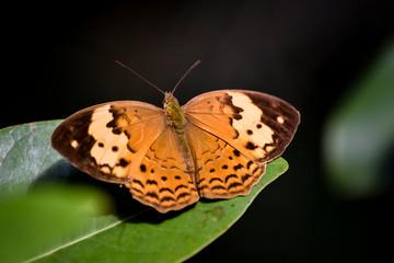 Foto de una mariposa grande de color naranja.