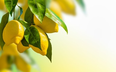 Bunches of fresh yellow ripe lemons with green leaves