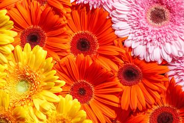 Foto auf Leinwand Blumen Gerbera flower rainbow background