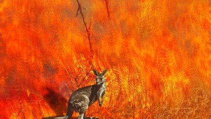 Wall Mural - Cinemagraph loop: Australian wildlife in bushfires of Australia. Kangaroo with fire on the background. The 2020 devastating wildfires affecting Australia are considered the most deadly ever seen.
