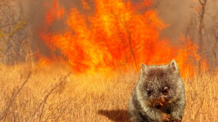 Wall Mural - Cinemagraph loop: Australian wildlife in bushfires of Australia in 2020. Wombat with fire on background. January 2020 fire affecting Australia is considered the most devastating and deadly ever seen