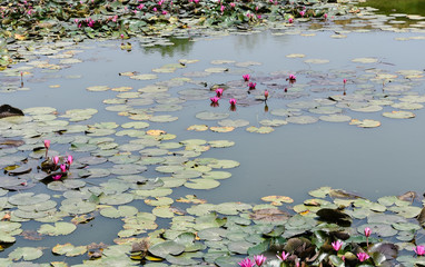 Foto op Canvas Waterlelies A small pond full of pink water lilies