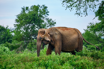 Wild old Sri Lankan elephant (Elephas maximus maximus) eats grass in nature park Udawalawe. Animal in the nature habitat.