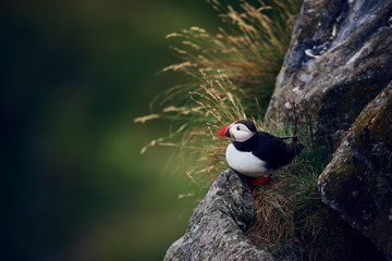 Atlantic puffin (Fratercula arctica) on the island of Runde in the Norway. Beautiful little bird with red bill of bird. Wild scene with arctic animal.