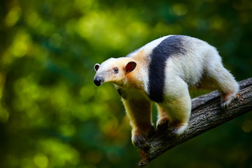 Southern tamandua - Tamandua tetradactyla in Brazil rain forest. Animal from central America. Fototapete