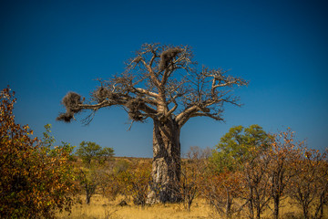 In de dag Baobab Kruger National Park, South Africa- JULY 2019: An ancient baobab east of Punda Maria