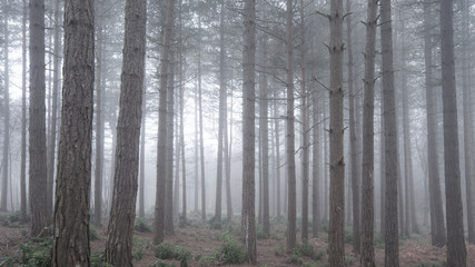 Garden Poster Dark grey Beautiful landscape image of pine tree woodland with deep mist conditions through trees into distance