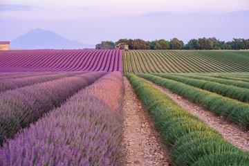 Türaufkleber Lavendel Champ de lavande en train de récolte. Provence, France.