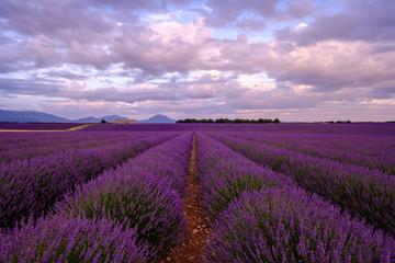 Wall Murals Lavender Champ de lavande en Provence. Coucher de soleil, ciel nuageux, coloré.