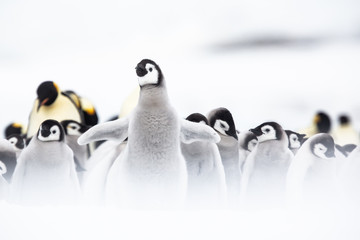 Spoed Fotobehang Pinguin Emperor penguin colony adults and chicks on the sea ice, Snow Hill, Antractica