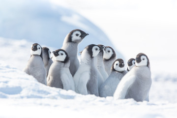 Photo sur Toile Pingouin Emperor penguin colony, adults and chicks, Snow Hill, Antarctica