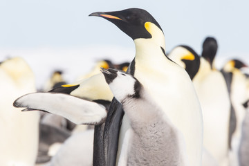 Fototapeten Pinguin Emperor penguin colony, adults and chicks, Snow Hill, Antarctica