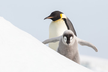 Spoed Fotobehang Pinguin Emperor penguin colony adults and chicks, Snow Hill, Antarctica