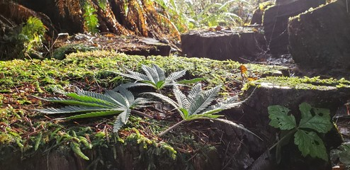 Cannabis Leaves in a Rainforest Shower_4