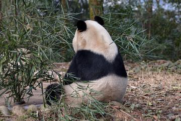 Wall Mural - Goofy Panda Bear
