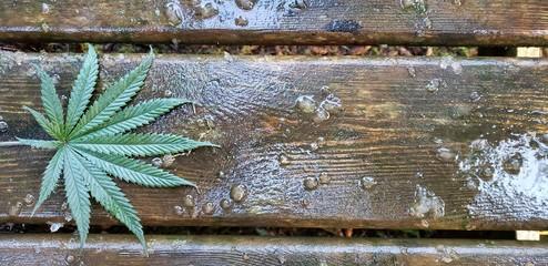 Cannabis Leaf on Wet Barnwood_Header 3