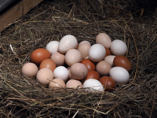 Many different eggs from types of poultry