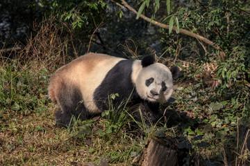 Wall Mural - Panda Bear