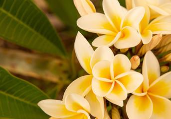 Yellow and white frangipani tree 1