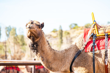 Camel about to walk off on camel riding tour.