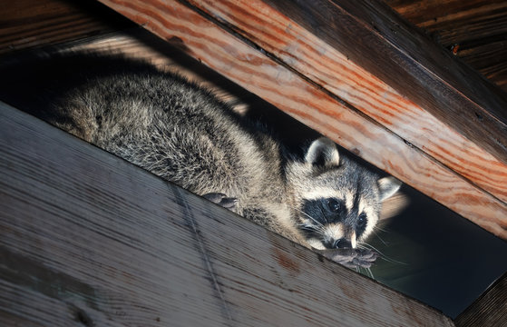 American raccoon climbed into the attic of a house
