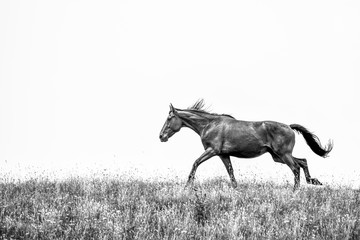 black and white picture of horse galloping in field