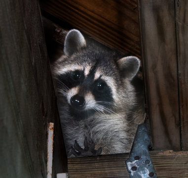 American raccoon entered the attic and looks down
