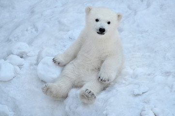 Foto auf AluDibond Eisbar polar bear in the snow