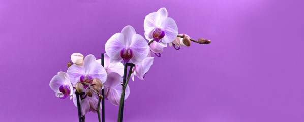 White purple orchid flower stock images. Orchid flower isolated on a purple background. White purple orchid on a violet background with copy space for text