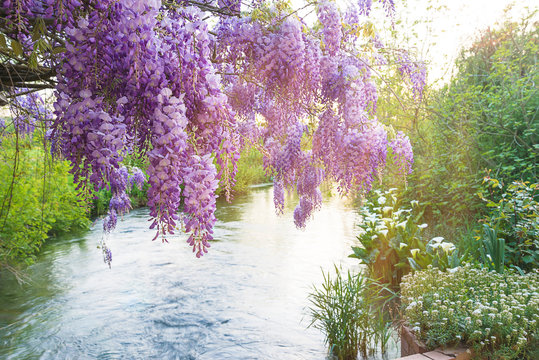 Beautiful purple wisteria blooming above the river in spring park. Close up, selective focus