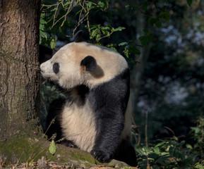 Fotomurales - Curious Panda Bear