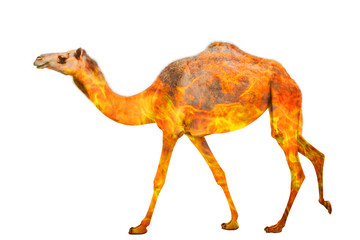 Wall Mural - Composition about camel wildlife in the Australian bushfires in 2020. Standing camel or dromedary with fire isolated on white background.