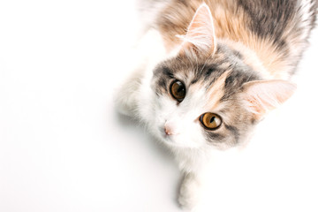 White, ginger, gray cat lying on white table and looking up. Cat with brown eyes on white background. Pet top view image with copy space. Photo for web, social media