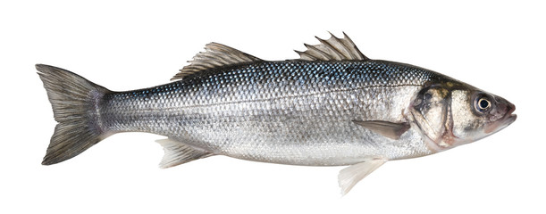 One fresh sea bass fish isolated on white background