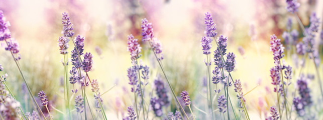 Selective and soft focus on lavender, flowering lavender flowers in garden
