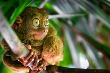 tarsier bohol philippines wildlife